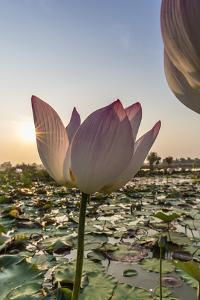 Lotus Flower (Nelumbo Nucifera), Near the Village of Kampong Tralach, Cambodia, Indochina by Michael Nolan