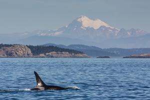 Resident Killer Whale Bull by Michael Nolan