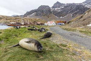 Southern Elephant Seal Pups (Mirounga Leonina) after Weaning in Grytviken Harbor, South Georgia by Michael Nolan