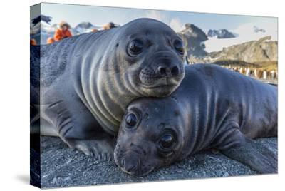 Southern Elephant Seal Pups (Mirounga Leonina), Gold Harbor, South Georgia, Polar Regions