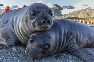 Southern Elephant Seal Pups (Mirounga Leonina), Gold Harbor, South Georgia, Polar Regions by Michael Nolan