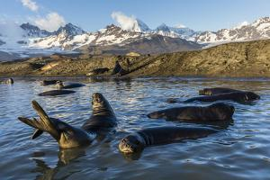Southern Elephant Seal Pups (Mirounga Leonina), in Melt Water Pond, St. Andrews Bay, South Georgia by Michael Nolan