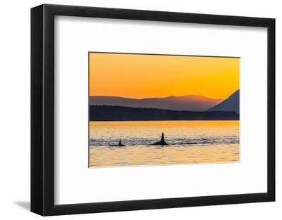 Transient Killer Whales (Orcinus Orca) Surfacing at Sunset