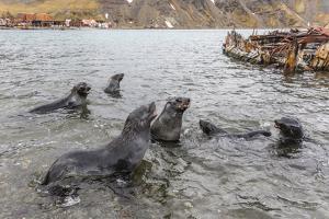 Young Antarctic Fur Seals (Arctocephalus Gazella) Mock Fighting in Grytviken Harbor, South Georgia by Michael Nolan