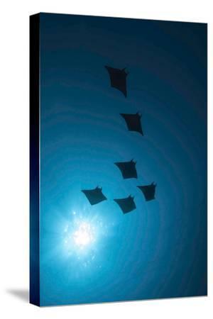 Devil Rays (Mobula Japonica) Viewed From Below, South Ari Atoll, Maldives