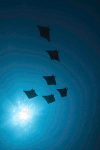 Devil Rays (Mobula Japonica) Viewed From Below, South Ari Atoll, Maldives by Michael Pitts