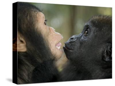 Baby Gorilla and a Chimpanzee