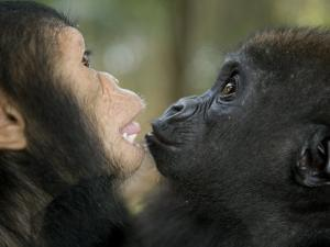 Baby Gorilla and a Chimpanzee by Michael Polzia