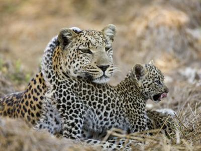 Leopard Cub under the Watchful Eye of its Mother