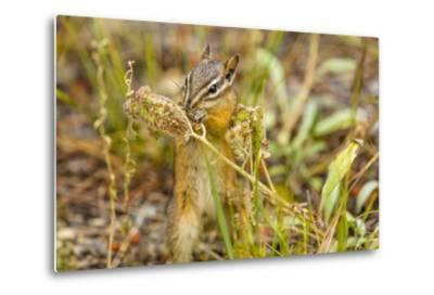 Campground Critter. Least Chipmunk Foraging on Naturals on Flagg Ranch Road Wyoming