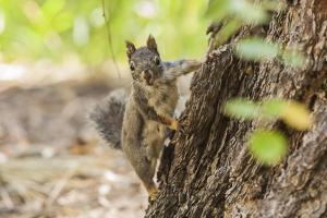 Eastern Sierra Nevada. an Inquisitive Douglas Squirrel or Chickaree by Michael Qualls