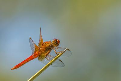 Flame Skimmer Dragonfly Perched and at Rest in La Mesa, California