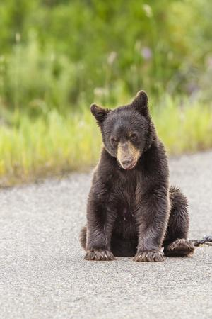 Glacier National Park, the Loser of Bear-Truck Collision on the Camas Road