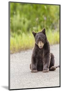 Glacier National Park, the Loser of Bear-Truck Collision on the Camas Road by Michael Qualls