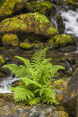 Olympic National Park, Lake Quinault Washington. Sword Fern at Bunch Creek