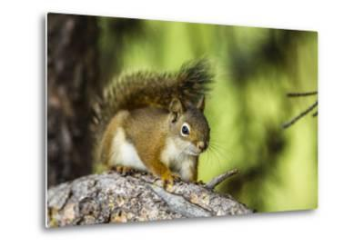 Red Tree Squirrel Posing on Branch in Flagg Ranch, Wyoming