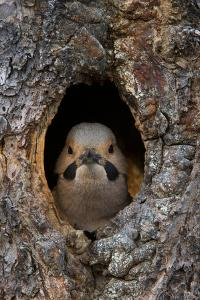 A Northern Flicker in the Hollow of a Tree by Michael Quinton