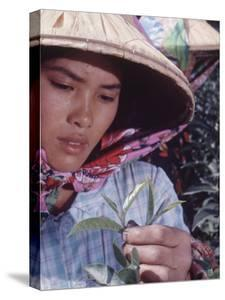 Food: Chinese Woman Picking Shoots from a Tea Plant by Michael Rougier