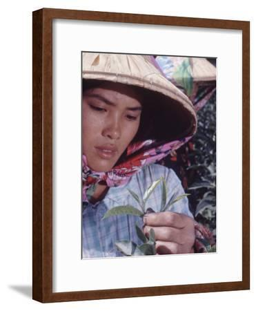 Food: Chinese Woman Picking Shoots from a Tea Plant