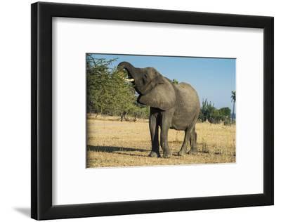 African Bush Elephant (Loxodonta Africana) Eating from a Tree