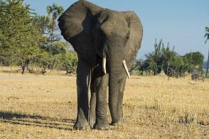 African Bush Elephant (Loxodonta Africana), Liwonde National Park, Malawi, Africa by Michael Runkel