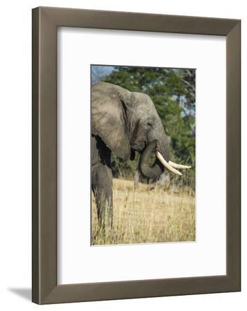 African Bush Elephant (Loxodonta Africana), Liwonde National Park, Malawi, Africa