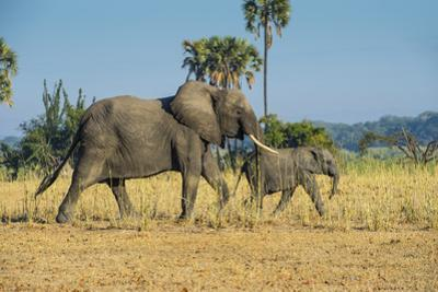 African Bush Elephant (Loxodonta Africana) Mother with Calf, Liwonde National Park, Malawi, Africa by Michael Runkel