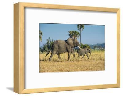African Bush Elephant (Loxodonta Africana) Mother with Calf, Liwonde National Park, Malawi, Africa