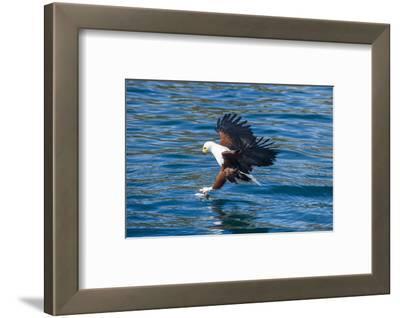 African Fish Eagle (Haliaeetus Vocifer) Hunting Fish, Cape Maclear, Lake Malawi, Malawi, Africa