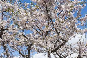 Blooming cherry tree, Motomachi district, Hakodate, Hokkaido, Japan, Asia by Michael Runkel