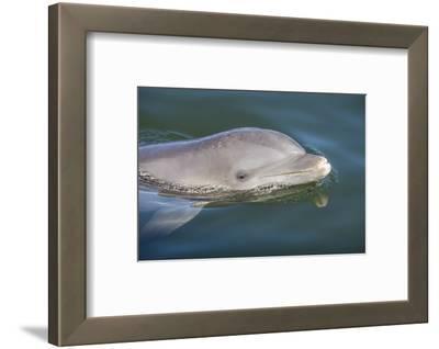 Bottlenose Dolphin, Tursiops Tursiops, Grassy Key, Florida, United States of America, North America