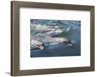 Bottlenose Dolphins, Tursiops Tursiops, Grassy Key, Florida, United States of America