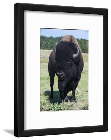 Buffaloes, South Dakota, Usa