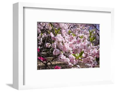 Cherry Blossom in the Shinjuku-Gyoen Park, Tokyo, Japan, Asia