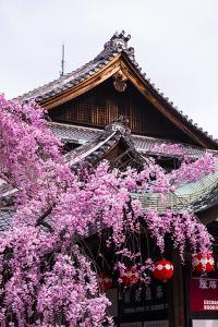 Cherry Blossom Tree in the Geisha Quarter of Gion, Kyoto, Japan, Asia by Michael Runkel