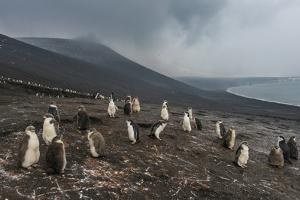 Chinstrap penguin colony (Pygoscelis antarctica), Saunders Island, South Sandwich Islands, Antarcti by Michael Runkel