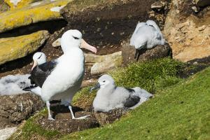 Colony of black-browed albatross (Thalassarche melanophris), Saunders Island, Falklands, South Amer by Michael Runkel