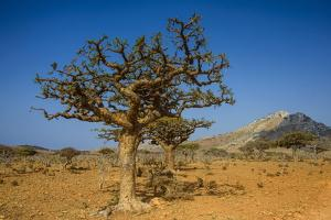 Frankincense Trees (Boswellia Elongata), Homil Protected Area, Island of Socotra by Michael Runkel