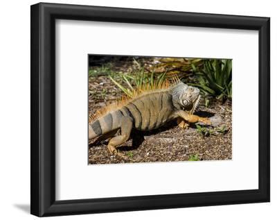Green Iguana, Iguana Iguana, Grassy Key, Florida, United States of America, North America