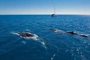 Humpback Whale (Megaptera Novaeangliae) Watching in Harvey Bay, Queensland, Australia, Pacific by Michael Runkel