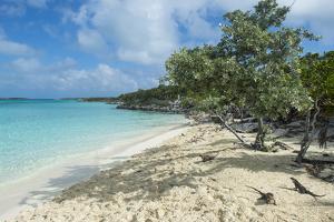 Iguanas on a White Sand Beach, Exumas, Bahamas, West Indies, Caribbean, Central America by Michael Runkel