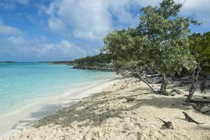 Iguanas on a White Sand Beach, Exumas, Bahamas, West Indies, Caribbean, Central America by Michael Runkel