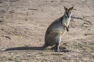 Kangaroo (macropods), Lone Pine Sanctuary, Brisbane, Queensland, Australia, Pacific by Michael Runkel