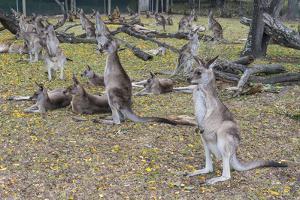 Kangaroos (macropods), Lone Pine Sanctuary, Brisbane, Queensland, Australia, Pacific by Michael Runkel