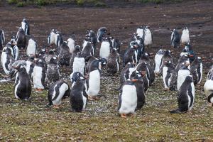 Magellanic penguin (Spheniscus magellanicus) colony, Carcass Island, West Falklands, Falkland Islan by Michael Runkel