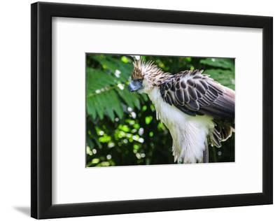 Philippine Eagle, Davao, Mindanao, Philippines