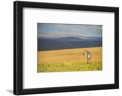 Plains Zebra (Equus Quagga), Nyika National Park, Malawi, Africa