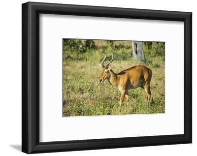 Puku (Kobus Vardonii) Antelope, South Luangwa National Park, Zambia, Africa