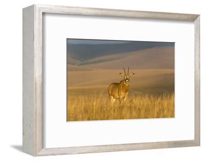 Roan Antelope (Hippotragus Equinus), Nyika National Park, Malawi, Africa