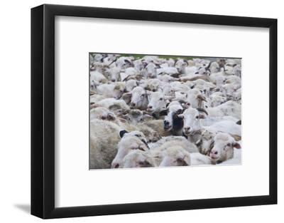 Sheep Herd in Kakheti, Georgia, Caucasus